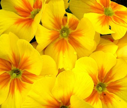 Primrose English Accord Yellow Seeds - Primula Vulgaris
