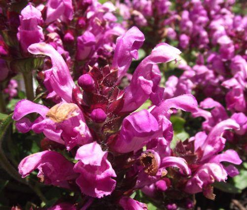 Prunella Self Heal Red Purple Seeds - Prunella Grandiflora Rubra