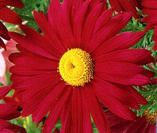 Pyrethrum Robinson's Red Seeds - Tanacetum Coccineum