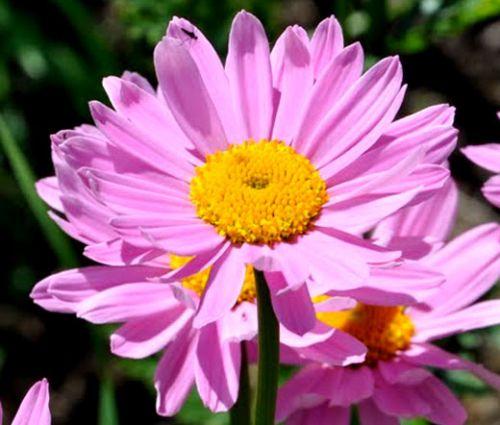 Pyrethrum Robinson's Rose Seeds - Tanacetum Coccineum