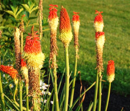 Red Hot Poker Seeds - Kniphofia Uvaria Royal Castle Hybrids