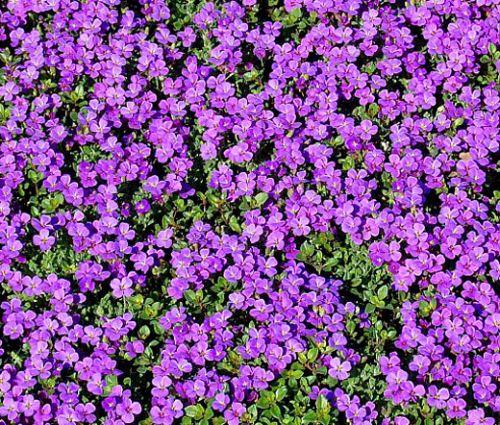 Rock Cress Purple Seeds - Aubrieta Deltoidea