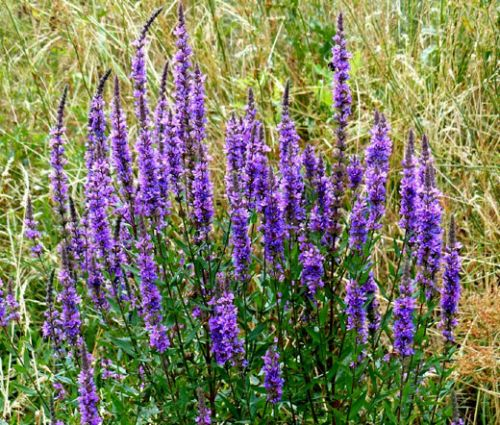 Sage Blue Seeds - Salvia Farinacea