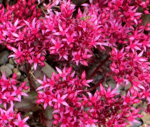 Sedum Dragon's Blood Stonecrop Seeds - Sedum Spurium