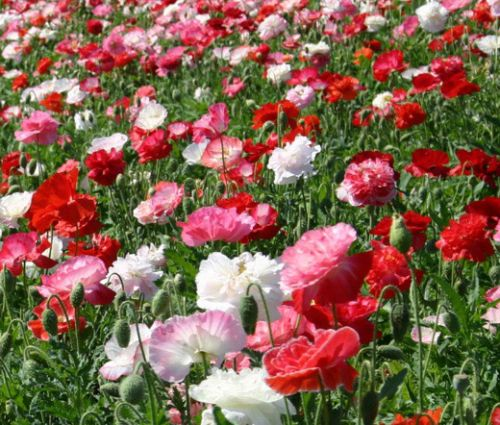 Shirley Poppy Double Mix Seeds Papaver Rhoeas p2