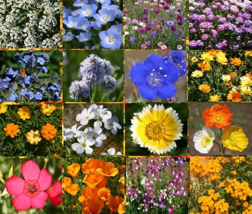 Wildflower Mix Short Creek Seeds