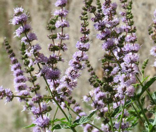 Spearmint Seeds - Mentha Spicata