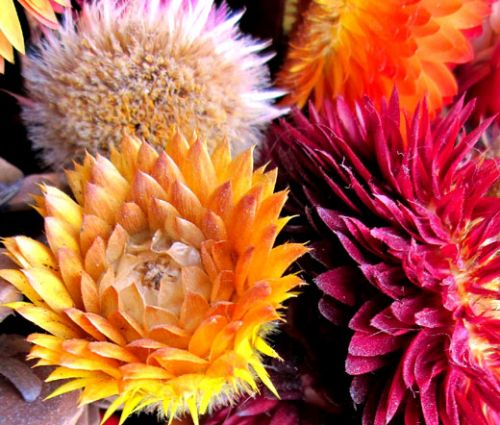Strawflower Helichrysum Monstrosum Seeds