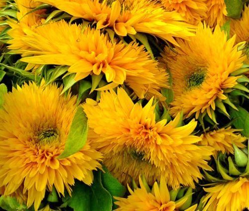 Sunflower Santa Fe Double Helianthus Annuus Seeds