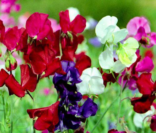 Sweet Pea Bijou Mix Dwarf Lathyrus Odoratus  Seeds