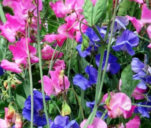 Sweet Pea Royal Family Mix Lathyrus Odoratus Seeds