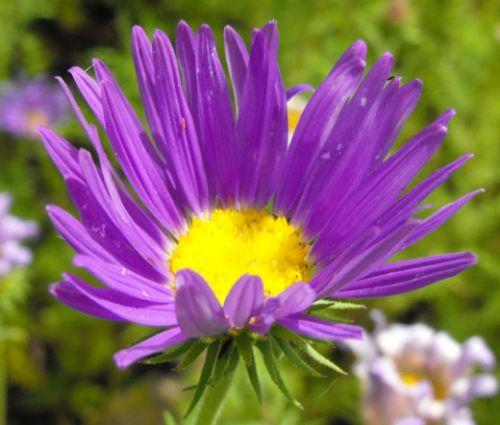 Tahoka Daisy Prairie Aster Machaeranthera Tanacetifolia Seeds