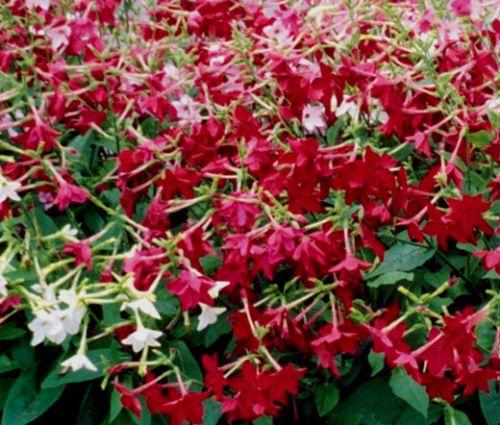 Tobacco Flowering Nicotiana Alata Seeds