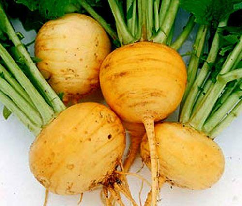 Turnip Golden Globe Brassica Rapa Seeds