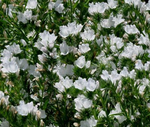 Viper's Bugloss White Bedder Dwarf Seeds - Echium Plantagineum