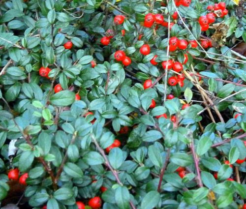 Wintergreen Creeping Seeds - Gaultheria Procumbens
