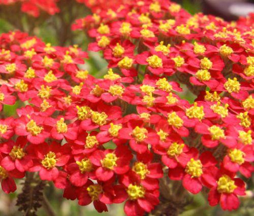 Yarrow Red Seeds - Achillea Millefolium Rubra