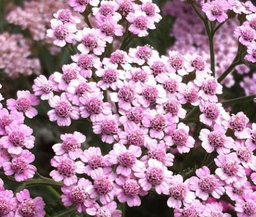 Yarrow Rose Seeds - Achillea Millefolium Cerise Queen