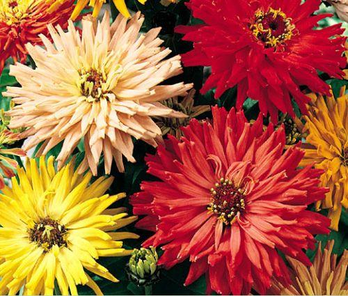 Zinnia Cactus Flowered Mix Seeds - Zinnia Elegans